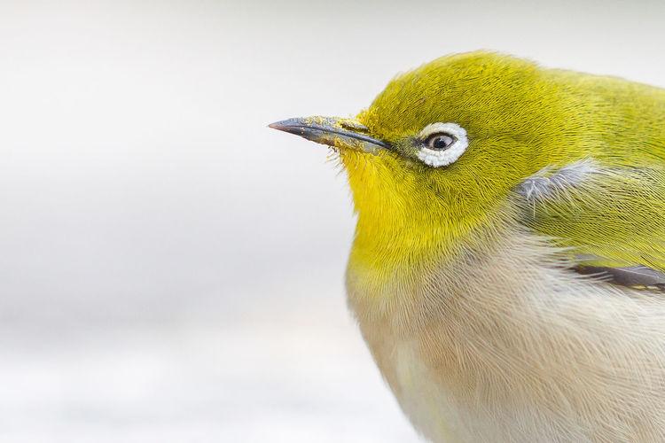 Close-Up Of Yellow Bird