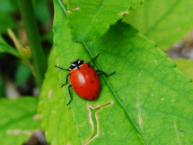 Insect Red Leaf Green Color Animal Wildlife Close-up Nature Animals In The Wild No People Outdoors Day One Animal Animal Themes Beauty In Nature Food Prickly Pear Cactus First Eyeem Photo Catarina