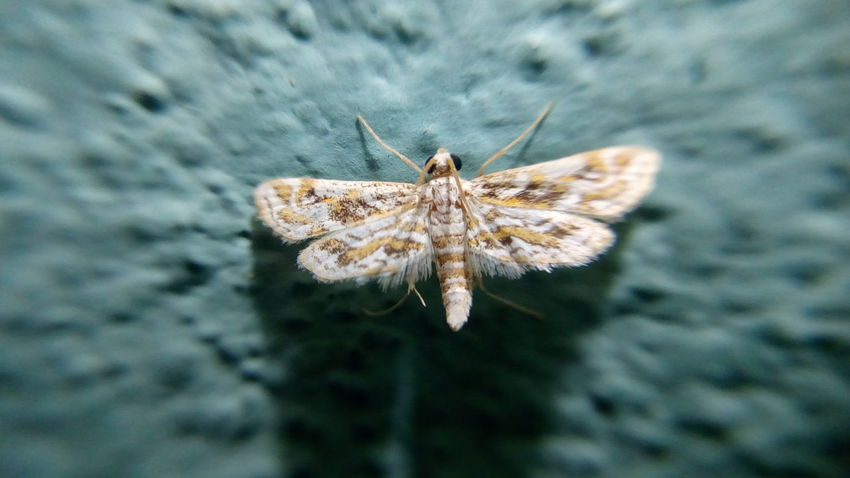 Tiny Moth.. EyeEm Selects Insect Close-up Animals In The Wild One Animal Animal Wildlife Day Animal Themes Butterfly - Insect Full Length Outdoors Fragility Nature No People Moth Shot With Mobile Clip Lens