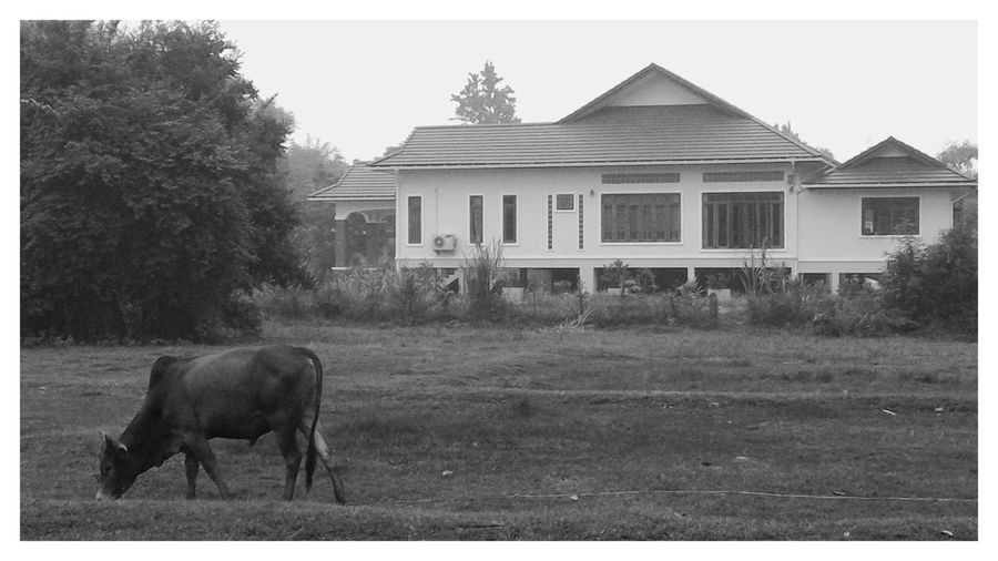 Animal Themes Architecture Black And White Building Exterior Built Structure Cow And Field Cow, Cattle, Farm, Farming, Day Field And House Grass House Mammal Nature No People One Animal Outdoors Tree