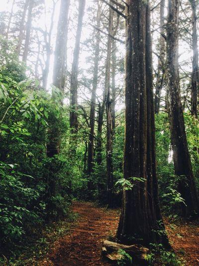 Trees Tall Green Brown Pretty Nature Path Beauty Road Trip Bosque De La Hoja Journey Leave Forest Costa Rica