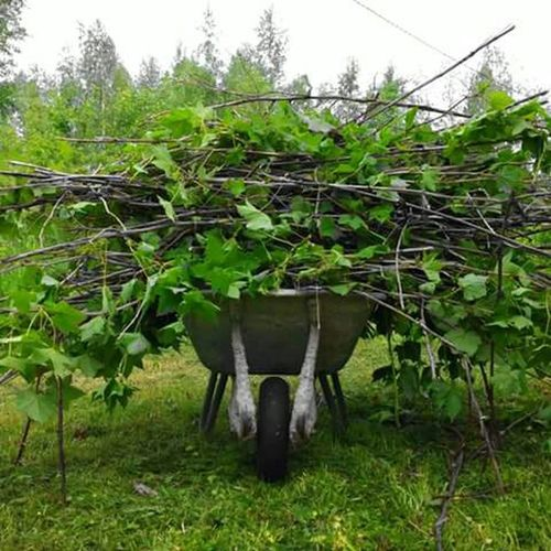 Cutting down the blackberry bushes. Gardening Blackberries Finland Kinnula