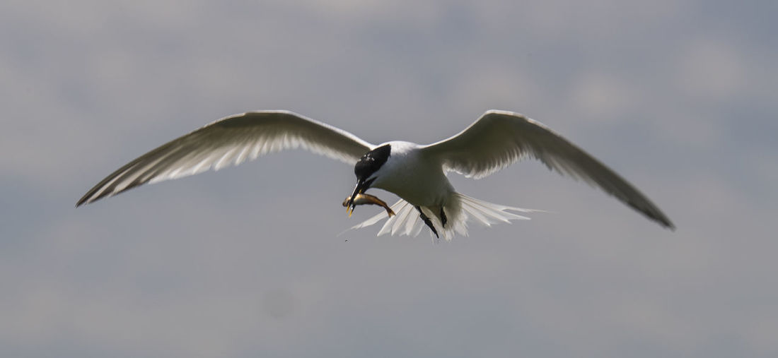 Arctic Tern Carrying Fish In Mouth While Flying Against Sky