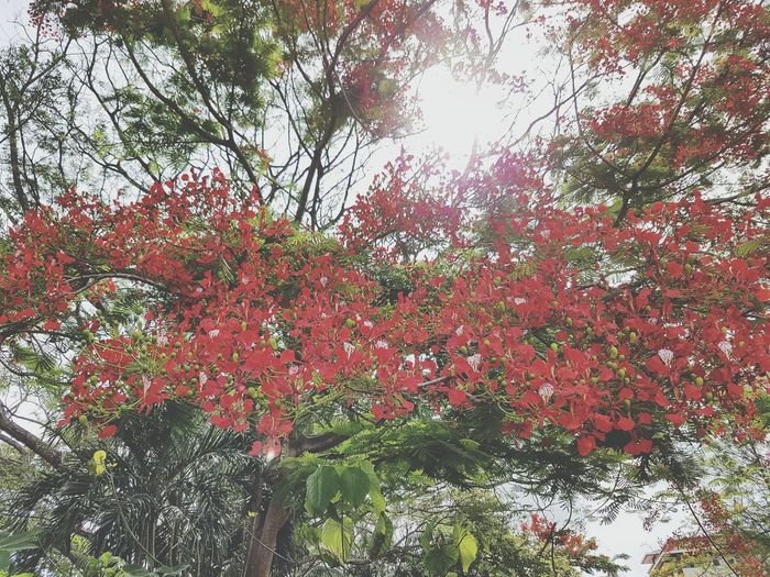 Red Flowers Bloom Blooming Blossoming Tree Nature Sun Afternoonwalk Beautiful Beauty In Nature Blue Sky Green Green Leaves Green Leaf, Fresh And Beautiful Nature Photography