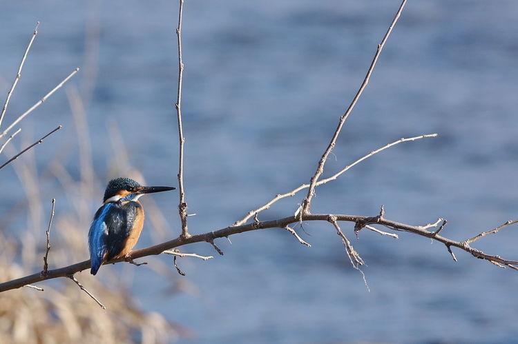 Kingfisher カワセミ カワセミのいる風景 翡翠 Bird Animal Wildlife Animal Wilderness Winter Nature Animals In The Wild