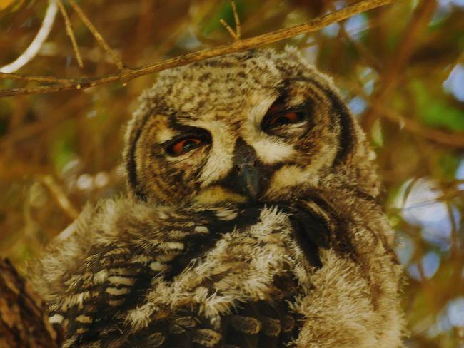 Owl Panasonic DMC FZ1000 Owl Eule Nature Animal Wildlife Animals In The Wild Animal One Animal Nature Portrait Owl No People Close-up Bird Tree Beauty In Nature Bird Of Prey