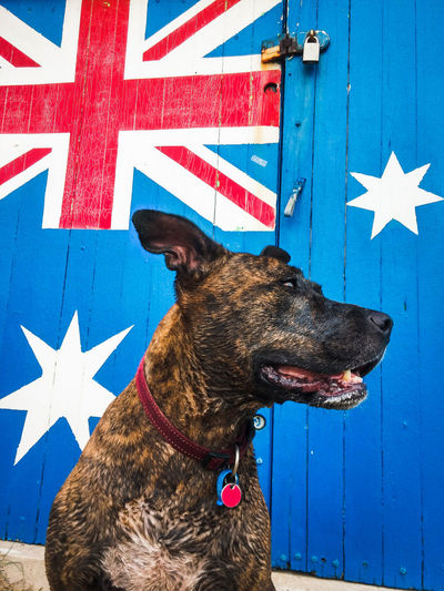 American staffordshire terrier sitting against australian flag painted on wall