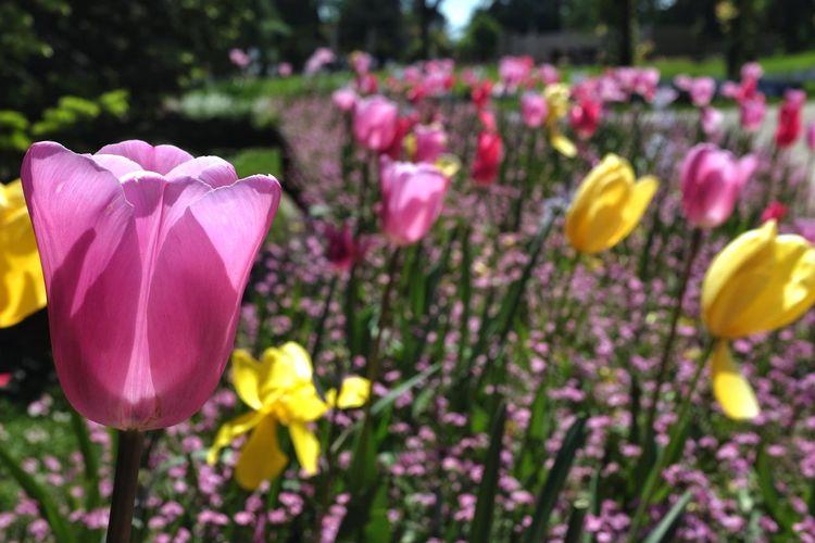 Tulips Flowers Nature EyeEm Nature Lover Switzerland