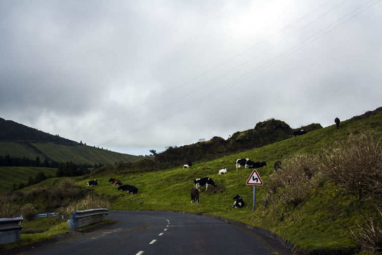 Countryside road with Grazing cows on meadow on roadside Agriculture Azores Field Grass Green Road Rural Travel Countryside Cows Environment Farming Hill Landscape Meadow No People Road Curve Road Side