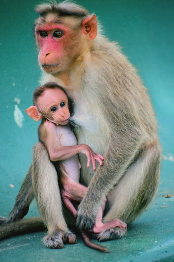 Mother and infant Feeding  Infant Monkey Baboon Ape Young Animal Primate Infant Animal Family Animal Behavior