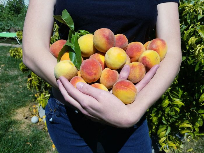 Midsection of woman holding peaches