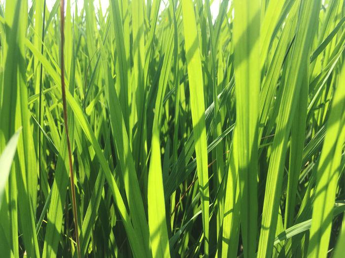 Leaf rice green