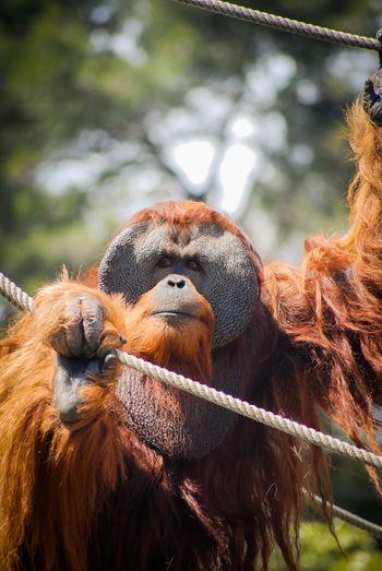 Adult male orangutan at the zoo