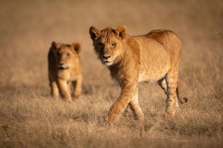 Lions walking on grassy field