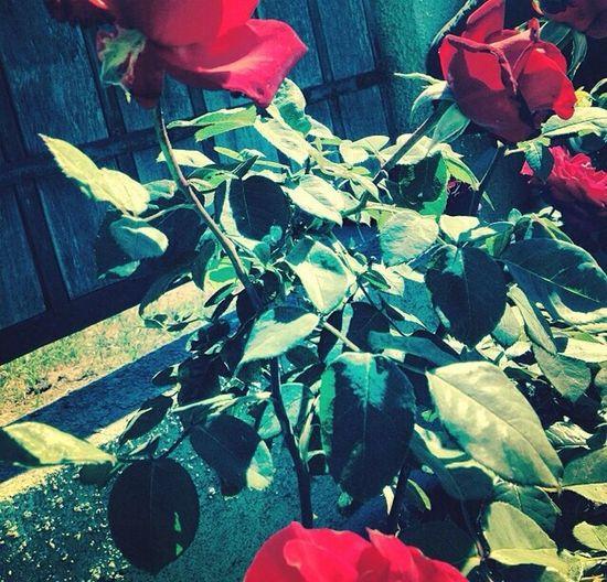 Instagram: @Fanalisjp Twitter: @cremens32 Flores Rosas <3 Hermosas