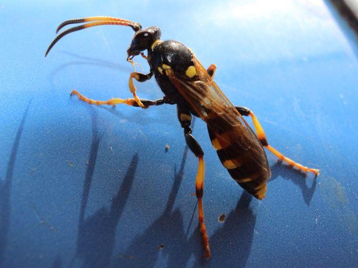 Wood Wasp Wasp Insect British Bugs Bugslife Nature Mothernature