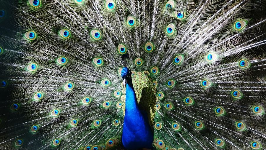 Showing off Peacock Feather  Bird Animal Themes Multi Colored Full Frame One Animal Majestic Natural Pattern Beauty In Nature Showing Male Animal Beauty Art Is Everywhere