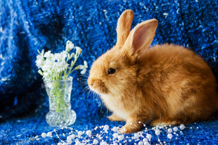 Cute fluffy ginger rabbit on a blue background with a bouquet of flowers