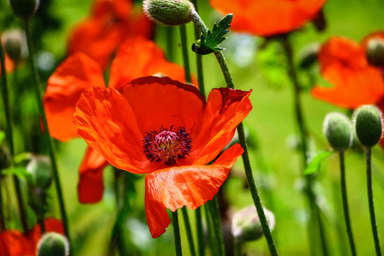 Flowering Plant Flower Beauty In Nature Vulnerability  Fragility Petal Freshness Plant Growth Flower Head Close-up Inflorescence Red Orange Color Focus On Foreground Nature Botany Pollen Green Color No People Poppy Orange EyeEmNewHere