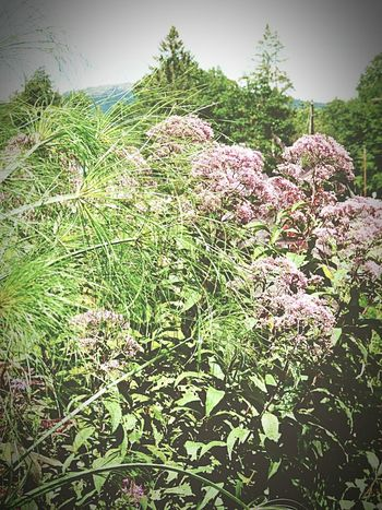 Wild Flowers Weeds Light Pink Late Summer Vermont