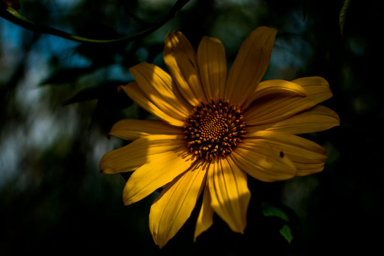 Flower Flowering Plant Yellow Freshness Flower Head Petal Inflorescence Fragility Vulnerability  Plant Close-up Beauty In Nature Pollen Growth No People Nature Focus On Foreground Day Outdoors Gazania