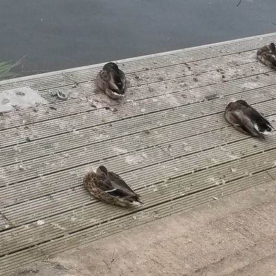 Ducks the other day when I went for a walk with my wonderful female companion @diddlydoodidoo Ducks Thames River Quack