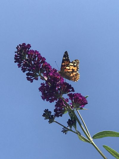 Butterfly on pink flower against clear sky