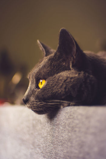 Chartreux cat laying on the table, close up of her eyes Animal Animal Body Part Animal Eye Animal Head  Animal Themes Black Color Cat Close-up Domestic Domestic Animals Domestic Cat Feline Focus On Foreground Looking Looking Away Mammal No People One Animal Pets Profile View Vertebrate Whisker Yellow Eyes My Best Photo