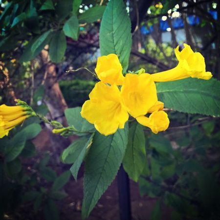 Beautiful flower in my garden 🏡 Missyou Environment Yellow Lumiacamera Nokialumia1520 Lovetocapture Lovelyevening Family Mountains Lumiamoment Lumiaphotography LumiaLove Myvillage Lotsoffun Pureview Zeiss Bestmoment Weekend