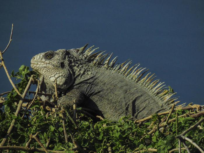 #iguana #iguana #animal #nature #playa #beach Animal Animal Wildlife Animals In The Wild Iguana Lizard Reptile EyeEmNewHere