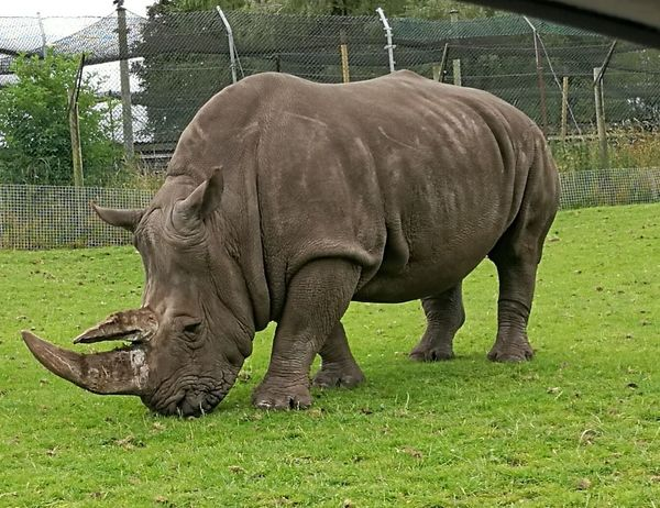 Taken With The Huawei P9 West Midlands Safari Park Animals Wildlife Power Rhinoceros Rhino