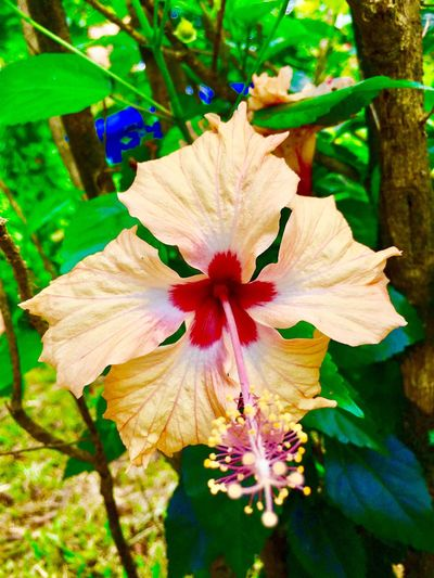 Malaysian Royal Flower Beautiful Flowers Beautiful Nature Bunga Kebangsaan Bunga Raya Flower Petal Nature Flower Head Fragility Growth Beauty In Nature Plant Blooming Outdoors Hibiscus