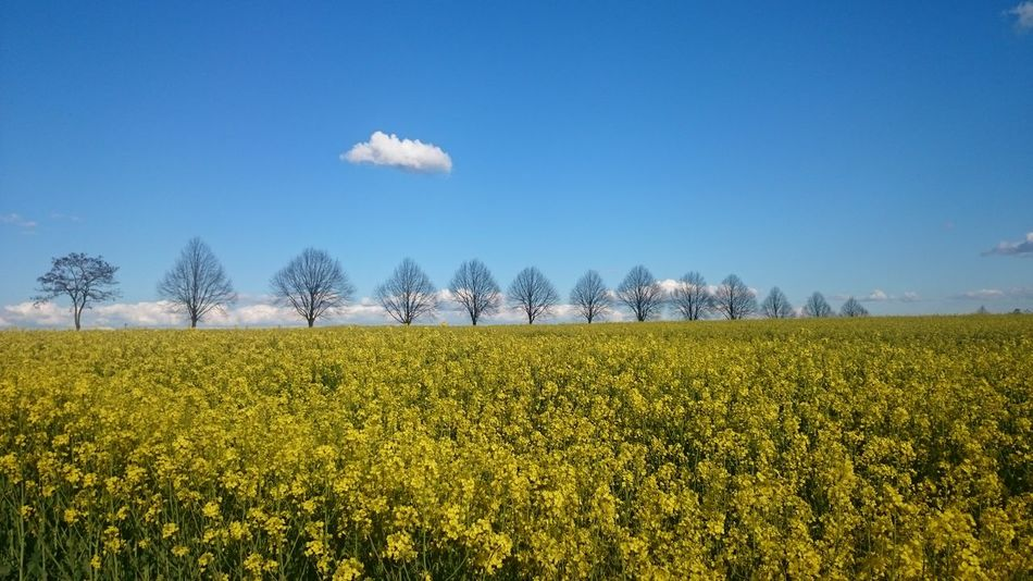 Nofilter Justnature Nature Rural SceneYellow Flowers Blue Sky Noclouds RapeFlowers Yellowandblue Colorful Colors Of Nature Springtime Trees Contrast Landscape Field
