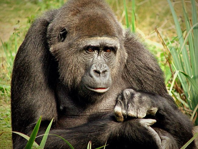 Beautiful Gorilla 🦍 Animal Themes Animal Wildlife Mammal Nature Outdoors Primate Close-up No People Ape Bristol Zoo Gorilla Captivity Beautiful Animal Animal Expressions