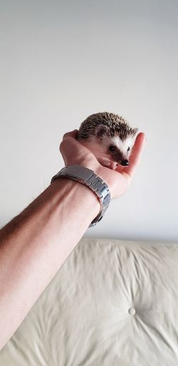 Cropped Hand Of Man Holding Hedgehog Against Wall
