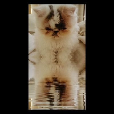 Reflections Selene Kitten Persians Nature