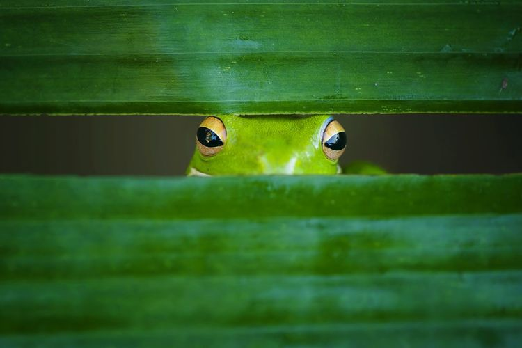 Close-Up Portrait Of Frog Looking Through Grass Blades