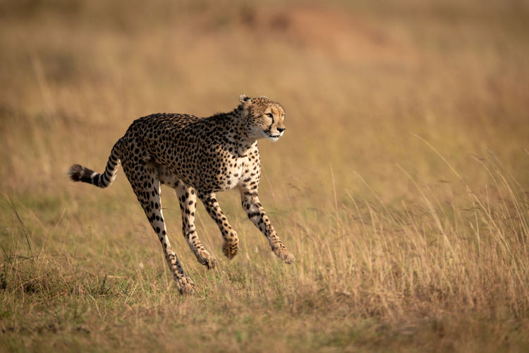 Cheetah running on field