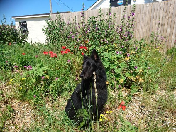 Beauty In Nature Belgian Shepherd Black Color Blooming Cute Dog  Day Dungeness Dungeness Kent Flower Fragility Grass Grassy Green Color Groenendael Growth Lawn Mammal Nature Outdoors Plant