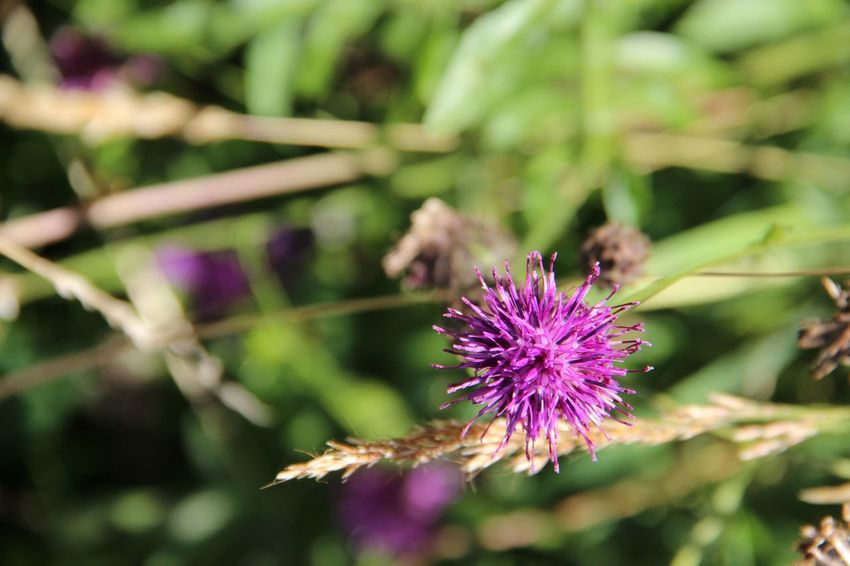 Beauty In Nature Blooming Close-up Day Flower Flower Head Focus On Foreground Fragility Freshness Growth Nature No People Outdoors Petal Plant Pollination Purple Thistle