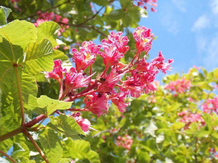 Kastanienbaum Kastanien Blüten Naturelover Tree_collection