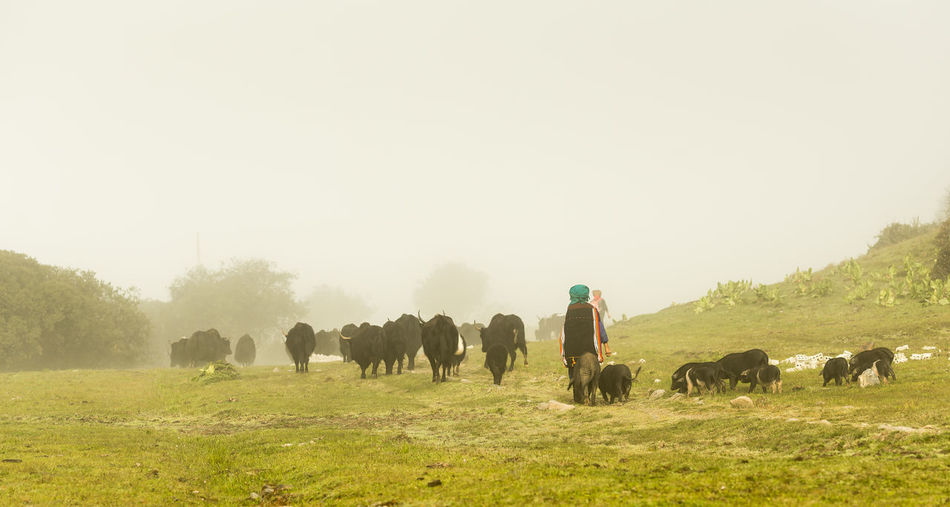 Man walking by cattle and pigs on field against sky during foggy weather