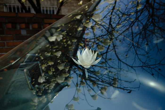 magnolia on car window with lotus flower accessory Lotus Flower Reflection Reflection On Car Architecture Beauty In Nature Branch Building Exterior Close-up Day Flower Flower Head Fragility Freshness Growth Lotus Nature No People Outdoors Petal Plant Tree