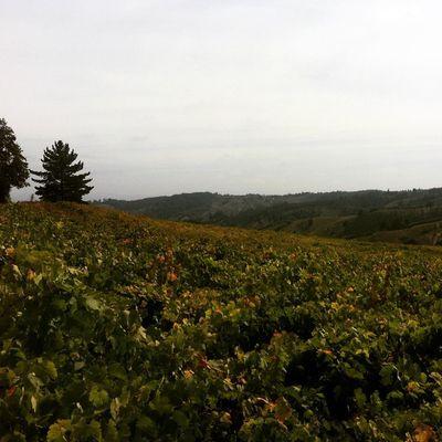 Viñas en lo alto de Guariligue Cinsault Cauquenes WinesOfChile