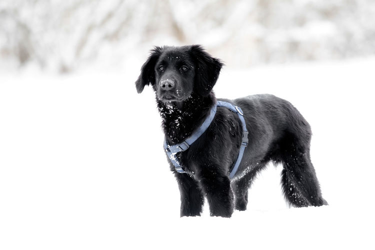 A black puppy is playing in the snow Animal Black Breed Cold Cute Dog Domestic Friend Fur Happy Ice Mammal Nature Obedient Dog Outdoor Outside Pet Playful Puppy Purebred Season  Snow White Winter Canine Pets Domestic Animals Vertebrate One Animal Animal Themes Black Color Cold Temperature Field Looking No People Standing Purebred Dog