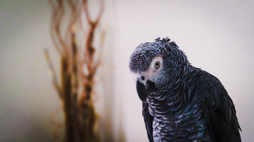 Parrots Animals