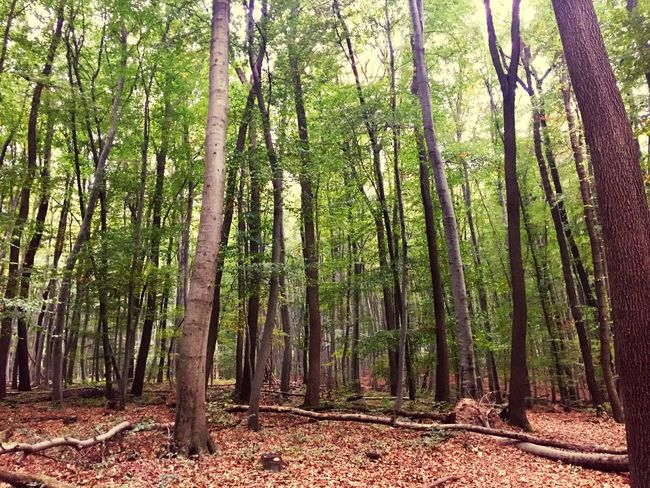Tree Forest Plant Land Beauty In Nature Growth Tranquility Day WoodLand Nature Tree Trunk No People Tranquil Scene Green Color Outdoors Non-urban Scene Scenics - Nature