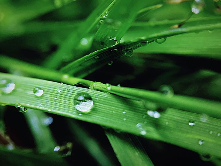 After The Rain Water Drop Green Color Close-up Selective Focus Blade Of Grass