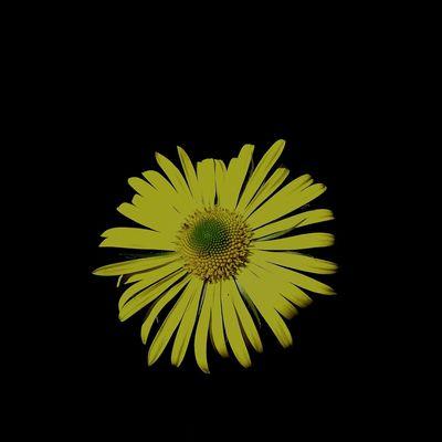 Urban 4 Filter Anıyakala CarpeDiem  Objektifimden Black Yellow Flower Altınvizor Nikon Daisy Beautiful