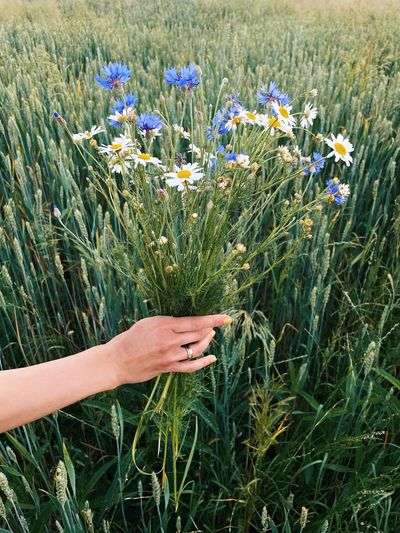 Hand holding purple flowers on field